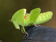 Plagiotriptus hippiscus