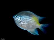 Yellow-side Damselfish
