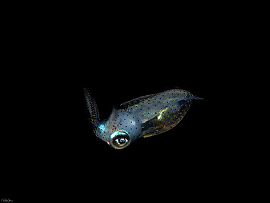 Common Botail Squid - Juvenile