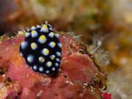 Common Egg Cowry