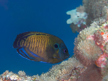 Brown Pygmy Angelfish