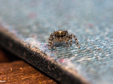 Jumping Spider - Juvenile