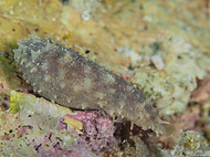 Bottleneck Sea Cucumber - Holothuria imp