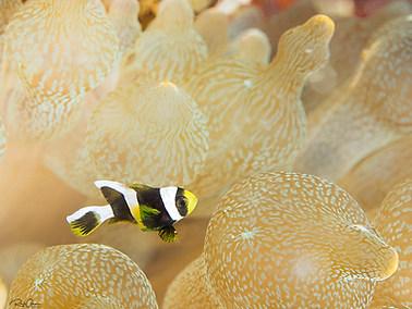 Saddleback Anemonefish - Juvenile