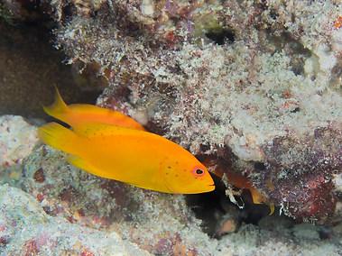 Coral Grouper - Juvenile