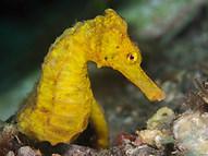 Common Seahorse