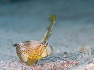 Peacock Razorfish - Juvenile