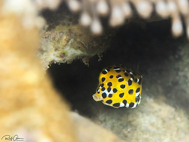 Yellow Boxfish - Young Adult