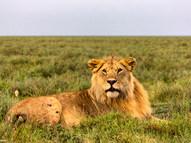 Lion - Male