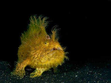 Hairy Striated Frogfish