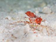 Sponge Carrier Crab