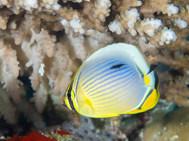Indian Redfin Butterflyfish - Juvenile