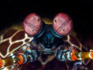 Eye of Peacock Mantis Shrimp