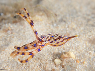 Baby Blue-ringed Octopus