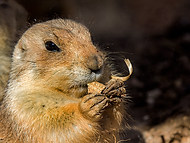 Sand rat
