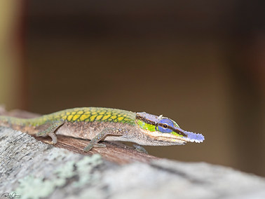 Two-toned Soft-nosed Chameleon