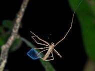 The Madagascar Net-casting Spider