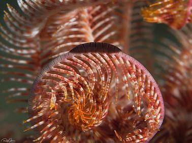 Myzostomid Worm