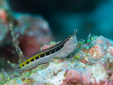 Lined Combtooth Blenny