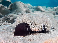 Lollyfish Sea Cucumber - Holothuria atra