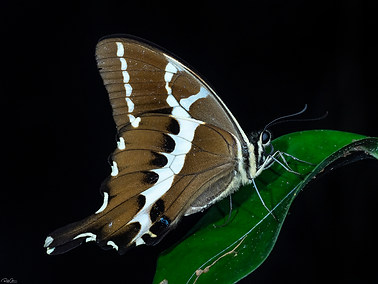 Cream-lined Swallowtail