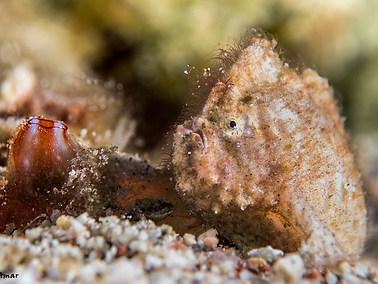 Randall's Frogfish - Juvenile