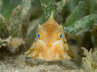 Humpback Turretfish - Young Adult