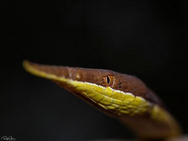 Madagascar Leaf-nosed Snake