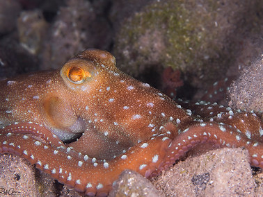 White-spotted Octopus