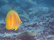 Rainford's Butterflyfish - Chaetodon rai