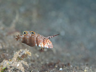 Peacock Razorfish - Sub-adult
