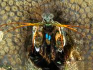 Blue-spot Mantis Shrimp