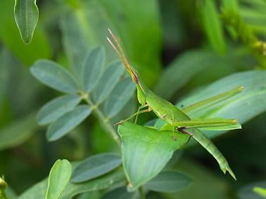Oriental Longheaded Locust