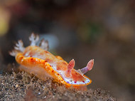 Yellow-margined Spanish Dancer (B)