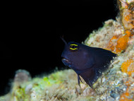 Smooth-fin Blenny