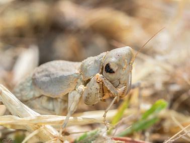 Common Ground Mantis (B)