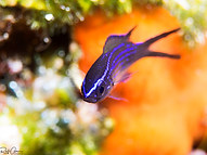 Mediterranean Damselfish - Juvenile