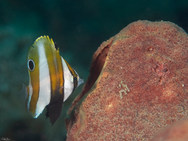 Orange-Banded Coralfish - Juvenile