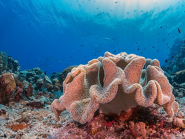 Slimy Leather Coral