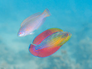 Red Sea Flasher Wrasse