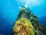 Broccoli Coral