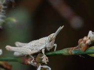 Pyrgomorpha conica