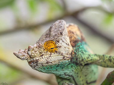 Parson's Chameleon - Male