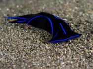 Blue Velvet Headshiels Slug