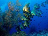 Pinnate batfish - sub-adult