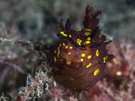 Plocamopherus ocellatus