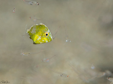Bristle-tail Leatherjacket - Juvenile