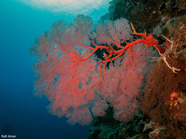 Stony corals or Hard corals