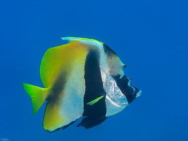 Masked Bannerfish