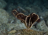 Feather Star - Heterometra savignyi (1).